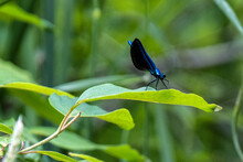 Ebony Jewelwing Insect On A Leaf Close-up