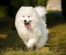 White Pomeranian Dog  , Pomerang Female  , Fluffy Furry Dogs Pomerang  , Pomerang Walking , Pomerang Pose White