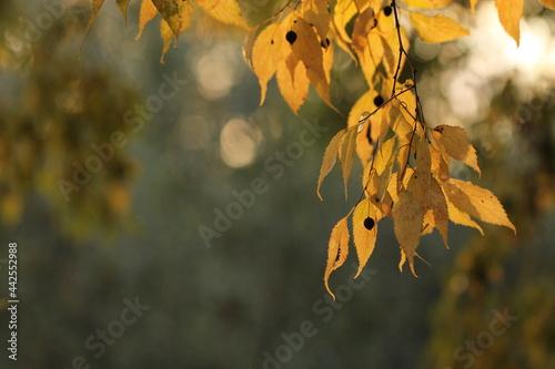 Fotografie, Obraz foglie di bagolaro in autunno