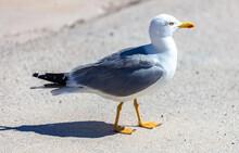 Seagull European Herring Gull Walking On The Ground, Closeup View