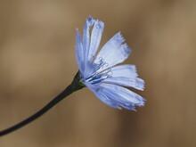 Chicory Flower Macro