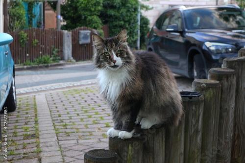 Valokuva Katze, Raubtier, norwegische Waldkatze, Tiger