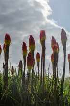 Red Hot Pokers Kniphofia