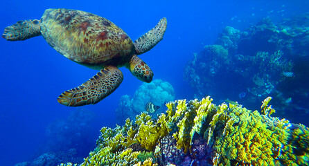 turtle swims under water in coral