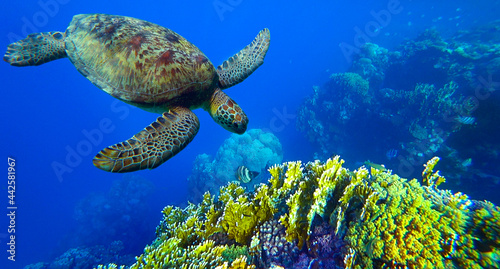 Canvas Print turtle swims under water in coral