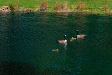 Two Canadian Geese And Six Goslings On A Pond