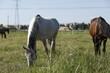 Koń biało szary pasący się na łące