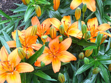 Luxurious Orange Lilies Bloom In Summer On A Flower Bed In The Garden