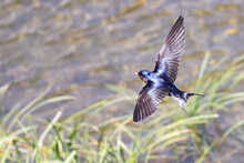 Barn Swallow Flying In Search Of An Insect Meal