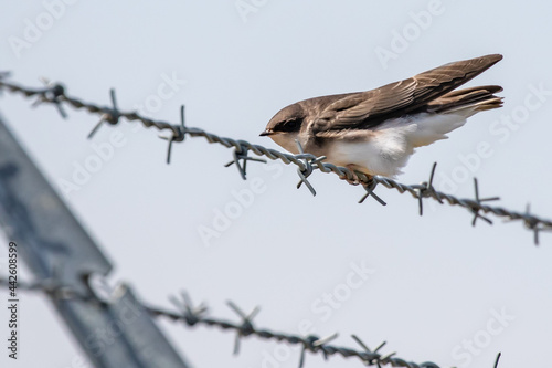 Leinwand Poster Fledgling Tree Swallow Perches on a Barbed Wire Fence Before His Next Flight Les