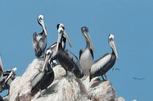 Pelicans On A Rock