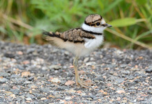 Baby Killdeer Bird Or Charadrius Vociferus So Young That Wing Is Tiny Stub Standing On Road Next To Green Plants