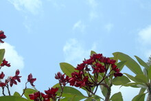 Red Flowers Of Frangipani Or Plumeria On Branch With Green Leaves And Blue Sky With White Cloud Background.