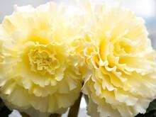 大輪のベゴニアの花