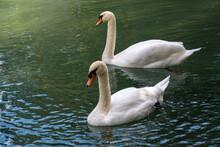 Two Graceful White Swans Swim In The Dark Water.