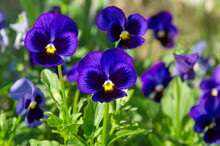 Violet Tricolor (Lat. Viola Tricolor), Or Pansies On A Flower Bed In The Garden Close-up