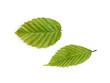 canvas print picture - Hainbuche, Carpinus betulus