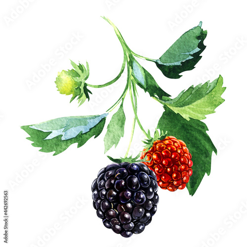 Fotografie, Obraz Branch with ripe blackberries, fresh berry, fruit with stem and green leaves, isolated, close-up