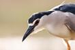 Kwak, Black-crowned Night Heron, Nycticorax nycticorax