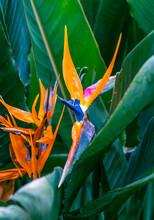 Strelitzia Reginae Pertenece A La Familia Strelitziaceae
