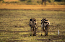 Selective Focus Shot Of Two Plain Zebras From The Back Grazing And A Little White Cattle Egret