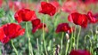 Red poppy flowers blooming in green spring field. High quality 4k footage