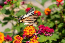 Butterfly On Lantana Red Yellow Color Flowers. Swallowtail Insect Feeding On A Blooming Plant, Garden In A Greek Island, Cyclades. Greece