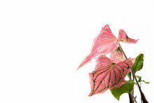 Close Up Caladium Pink And Green Leaves In A White Pot Isolated On White Background.