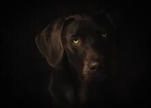 Cute German Braco Brown Dog Over Dark Background