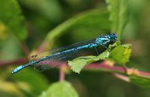 Azure Damselfly Male. Scientific Name, Coenagrion Puella. Damselfly Is Basking On A Leaf.