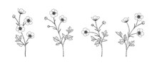 Hand Drawn Buttercup Floral Illustration.