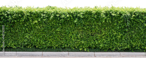 Photo Tropical Flower shrub bush fence tree isolated  plant with clipping path