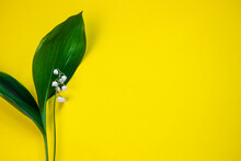 Green Lily Of The Valley May On Yellow Background With Place For Text Or Inscription
