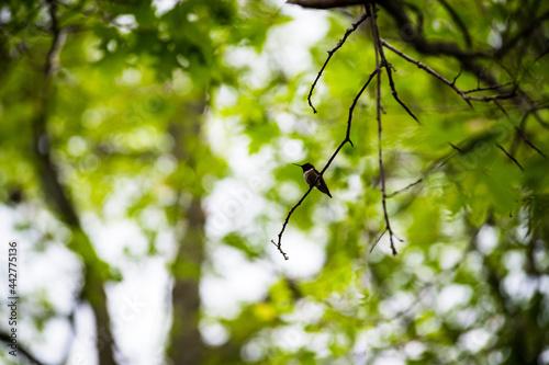 Leinwand Poster humming bird on a dead branch