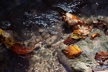 Autumn Leaves Float In A Mountain Stream
