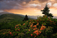 Flame Azaleas Blooming High In The Blue Ridge Mountains Of Tennessee