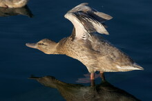 A Duck On A Quiet Blue Lake In Rota, Andalusia, Spain