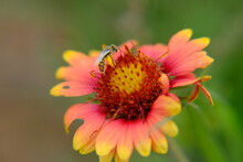 Fire Wheel, Indian Blanket, Sundance, Blanket Flower, Gaillardia Pulchella Foug. Bee Pollination