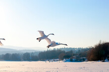 White Swans Fly In The Sky Under The Bright Sun