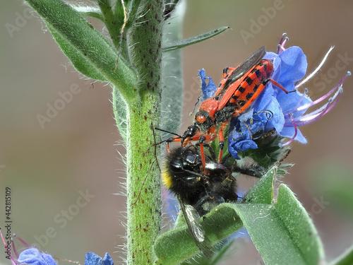 Valokuvatapetti Rote Raubwanze (Rhynocoris iracundus)