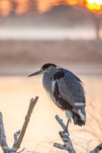 Grey Heron Portrait Was Taken In The Early Morning In London, UK