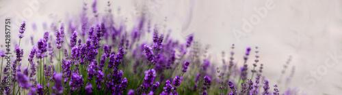 Aromatyczne kwiaty krzaków fioletowej w kąpanej w letnie popołudnie lawendy.. Nieostrość, bokeh.