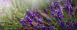 Fototapeta Kwiaty -  Aromatyczne kwiaty krzaków fioletowej w kąpanej w letnie popołudnie lawendy.. Nieostrość, bokeh.