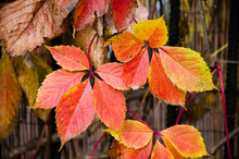The Virginia Creeper Vine In Autumn With Red Leaves