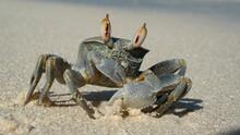 Sand Crab Close-up. Marine Crustaceans.