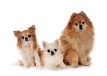 Pomeranian And Chihuahuas
