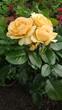 Róże pomarańczowe żółte piękne kwiaty ogród