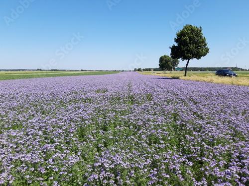 Piękne pola Facelii, Polska.
