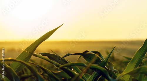 Photo sprouts of green young corn against the setting sun.