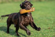 Brown Working Cocker Spaniel Undertaking Gun Dog Training With A Specialist Dummy.